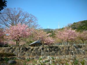 Keyakisakura1