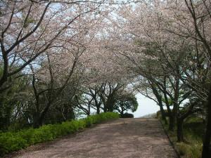 Sakurajutan3