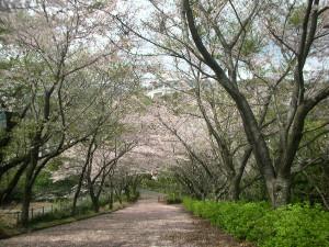 Sakurajutan4