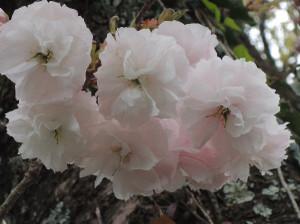 Yaezakura1