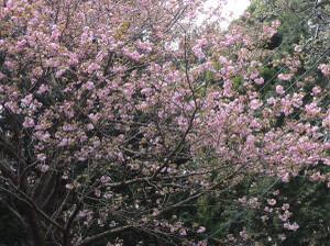 Yaezakura46a